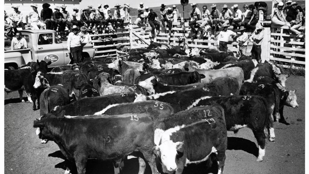 Photograph of a Calf Sale by Matt Culley, 1963
