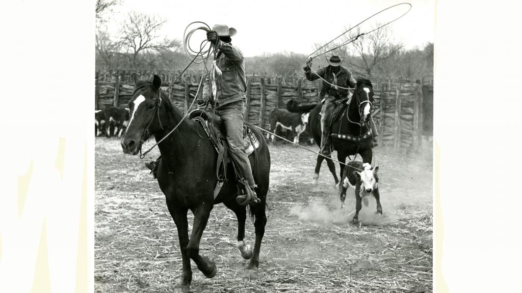 Cowboys Roping Cattle, 1959