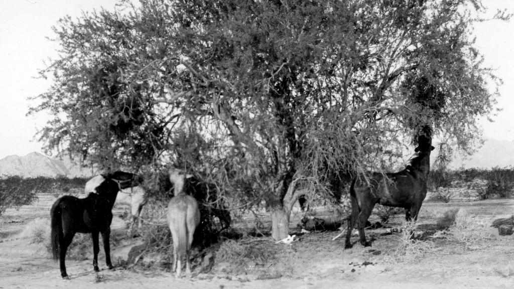 Photograph of Horses Eating a Tree, circa 1913