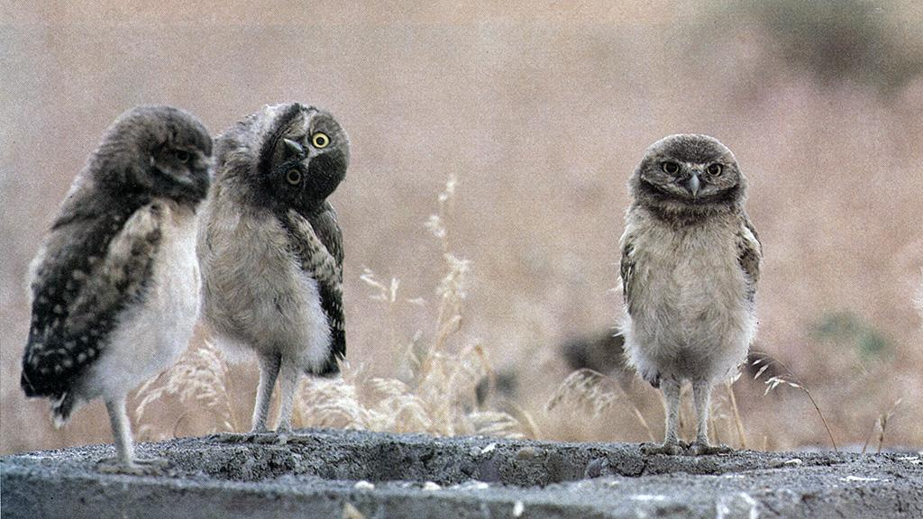 Three Owls, circa 1985