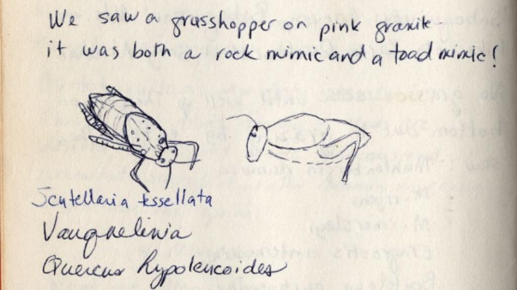 Grasshopper Sketch from Field Notebook, 1927