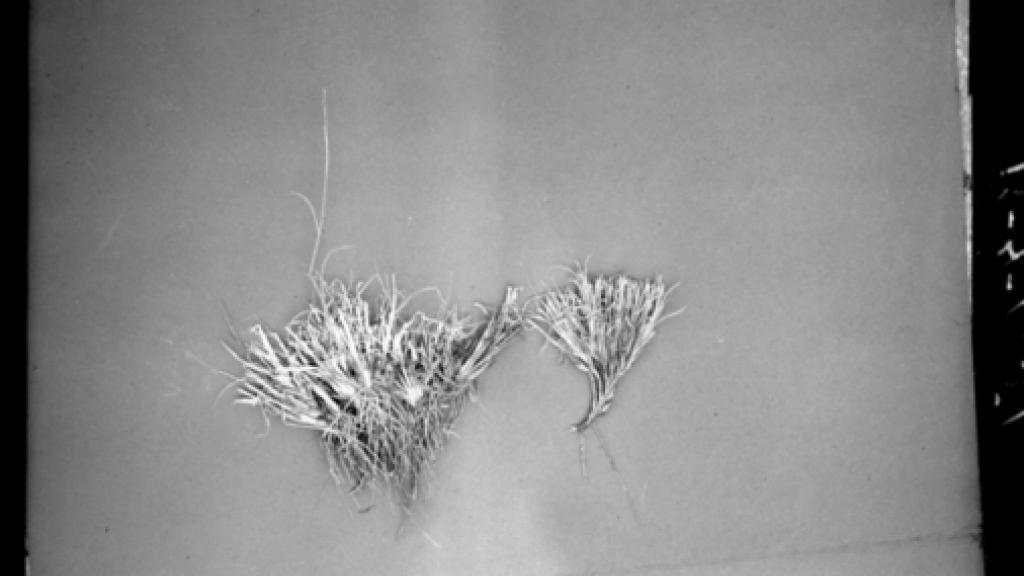Photo of lab study of Hilaria Jamesii