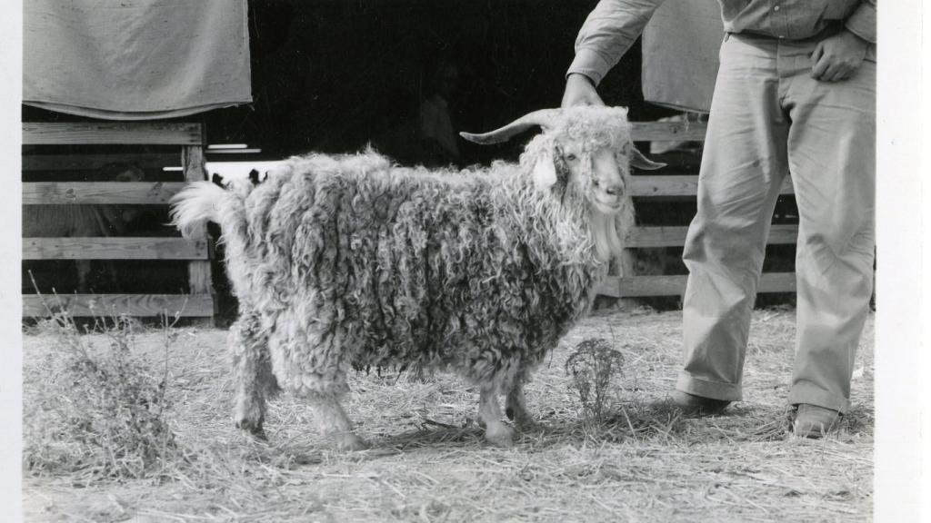 Buck Yearling Highest Priced Buck Sold at Junction, Texas, 1938